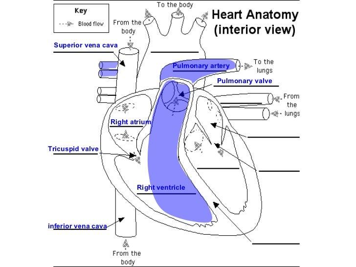 05 the heart
