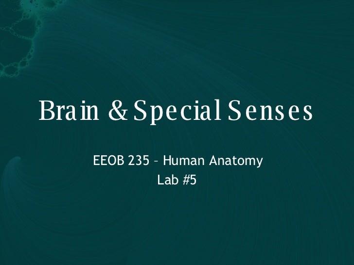 Brain & Special Senses EEOB 235 – Human Anatomy Lab #5
