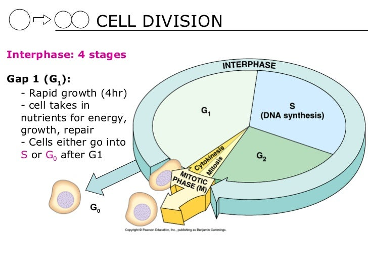 05 cell division