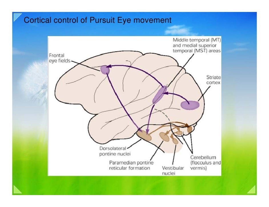 smooth pursuit eye movements essay The present essay presents clinical  reflexive saccades and smooth pursuit  the superior colliculus is not only responsible for subconscious guidance of eye.
