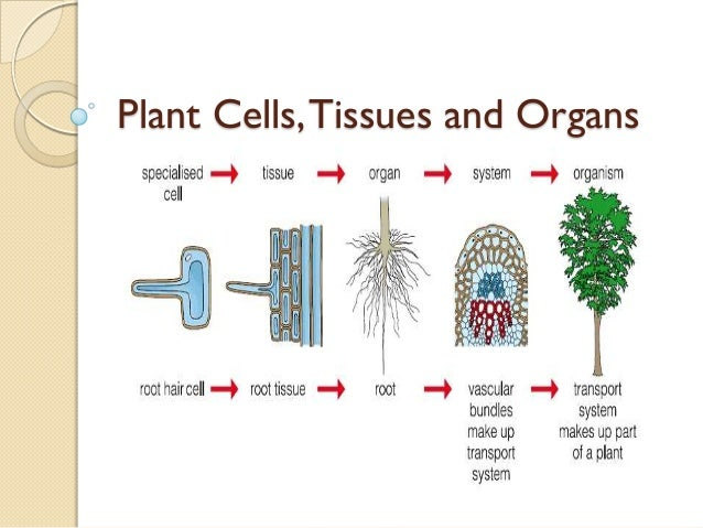 05 plant cells, tissues and organs