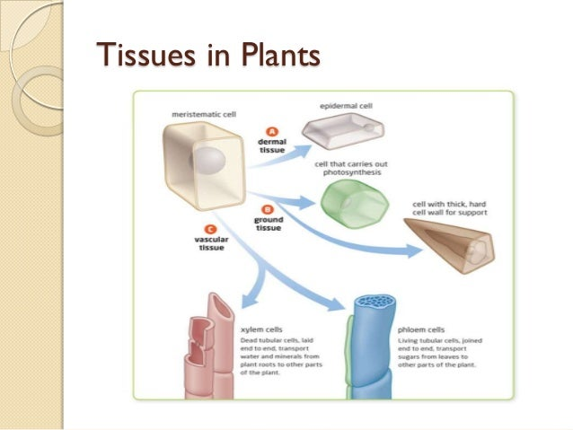 05 plant cells tissues and organs ccuart Images