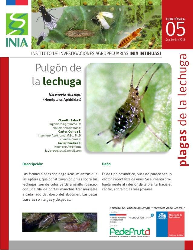FICHA TÉCNICA 05 INSTITUTO DE INVESTIGACIONES AGROPECUARIAS INIA INTIHUASI Nasonovia ribisnigri (Hemiptera: Aphididae) Sep...