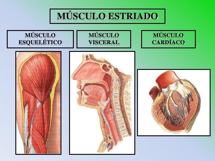 Bonito Músculo Visceral Galería - Anatomía de Las Imágenesdel Cuerpo ...