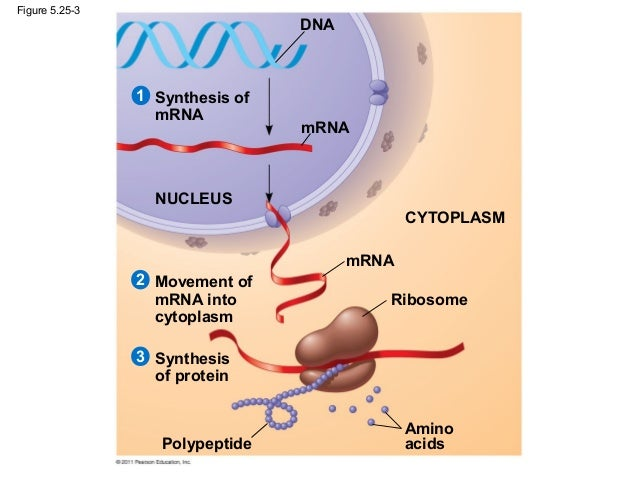 structure and function of large biological Carbohydrates nh2 polypeptides amino acids none of the above leave blank  4 the primary structure of a protein involves: disulfide linkages peptide bonds.