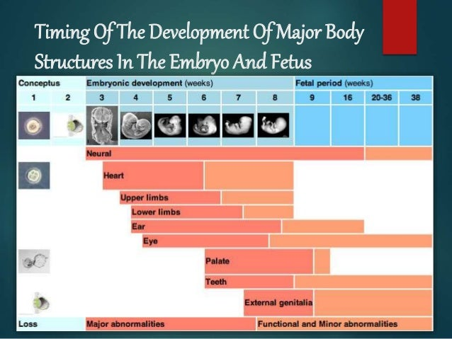 Timing Of The Development Of Major Body Structures In The Embryo And Fetus