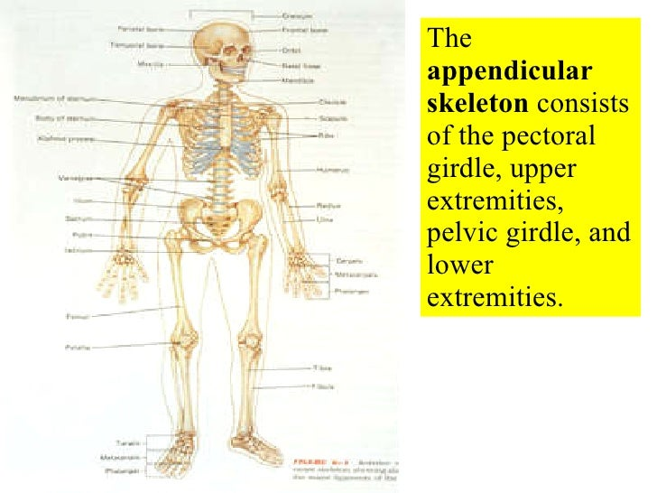 Bone Images No Labels Practice Test also 8688881 furthermore 06 Appendicular Skeleton Pectoral Girdle And Upper Limbs 459278 additionally LAB 5   MUSCLES furthermore Skeletondiagrams. on skull labeling exercises