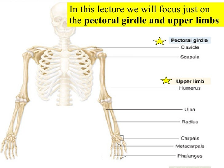 06 Appendicular Skeleton Pectoral Girdle And Upper Limbs – Appendicular Skeleton Worksheet