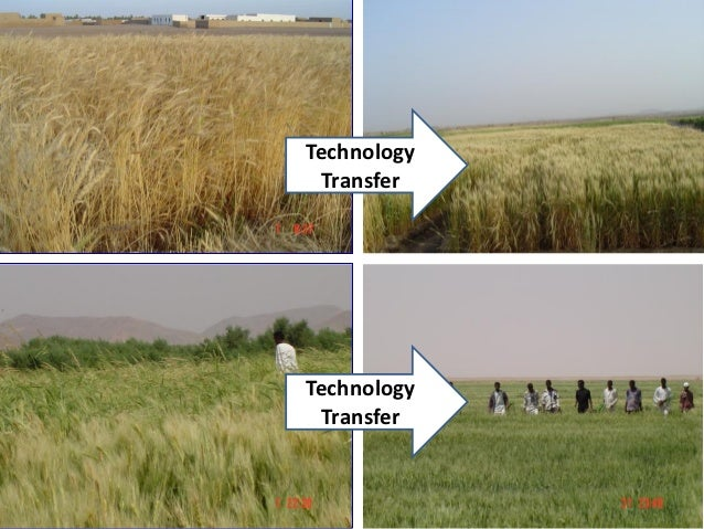 research papers on wheat production Research papers  minimum- and no-tillage systems are promoted because  research has shown that these systems may reduce  higher wheat yields when  wheat is grown in a crop rotation system compared to a monoculture system can  be.
