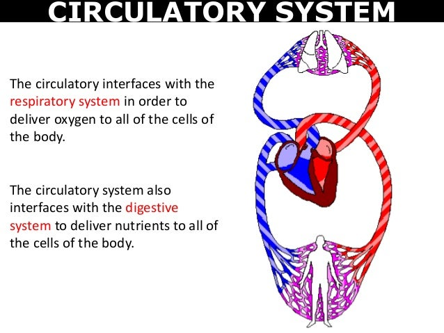 the digestive respiratory and cardiovascular system About this chapter watch enlightening physiology video lessons with quizzes for immediate feedback learn about the circulatory, respiratory, digestive, excretory and musculoskeletal systems.