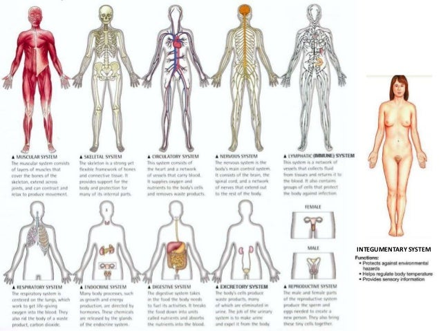 how the cardiovascular system works with the digestive system