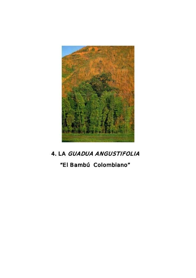 """4. LA GUADUA ANGUSTIFOLIA """"El Bambú Colombiano"""""""