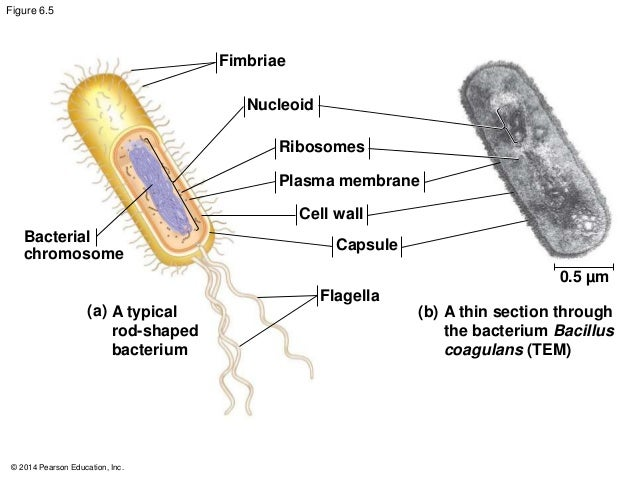 Blank bacteria cell diagram unlabeled wiring unlabled diagram of prokaryotic cell diy wiring diagrams u2022 bacteria labeled blank bacteria cell diagram unlabeled ccuart Image collections