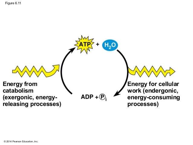 Atp Cycle Diagram Pearson Diy Enthusiasts Wiring Diagrams