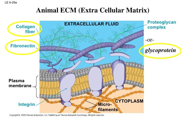 Animal Cell Diagrams Labeled further Stock Illustration Paramecium Structure Caudatum Isolated White Image52180392 as well Cell Structure Education Presentation TXRJejMxIc also 4652964 further Alta Loma Beyond Technology Education. on animal cell vacuole