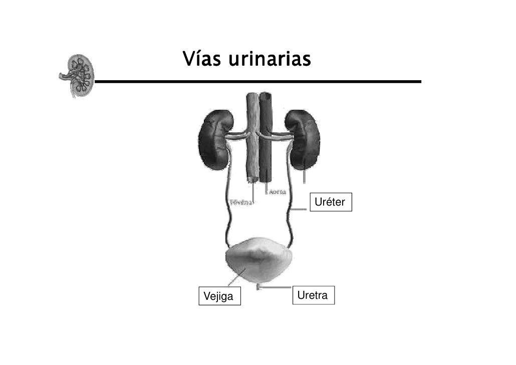 Vías urinarias                 Uréter  Vejiga    Uretra