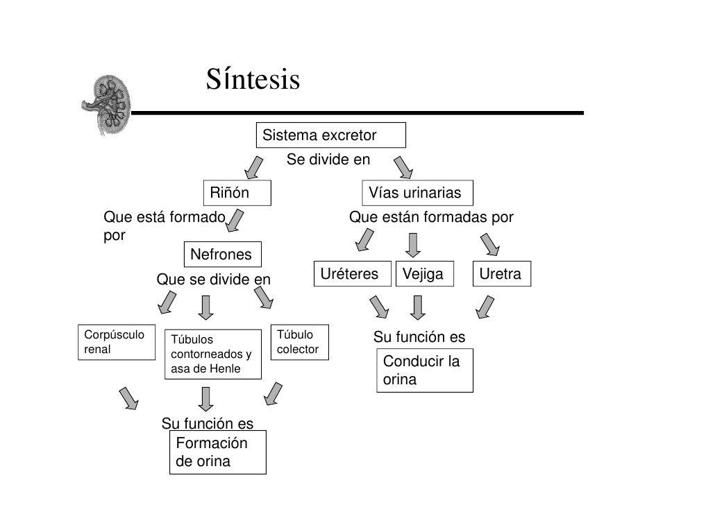 Síntesis                                Sistema excretor                                   Se divide en                   ...