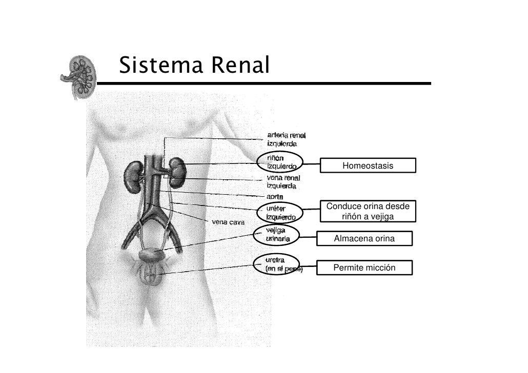 Sistema Renal                   Homeostasis                Conduce orina desde                   riñón a vejiga           ...