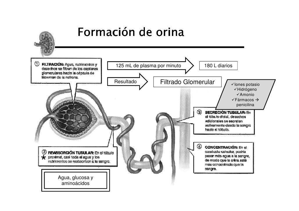 Formación de orina                      125 mL de plasma por minuto      180 L diarios                      Resultado     ...