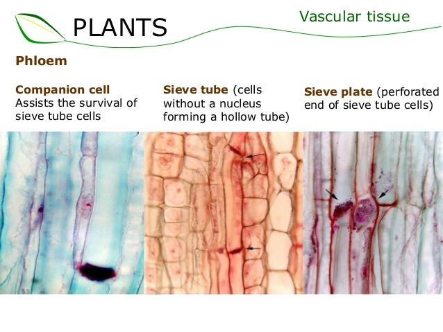 vascular tissue This is an article about vascular tissue in plants for transport in animals, see circulatory system vascular tissue is a complex tissue found in vascular plants.