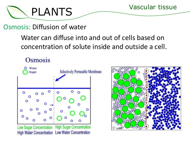 06 vascular tissue |Osmosis In Plant Roots