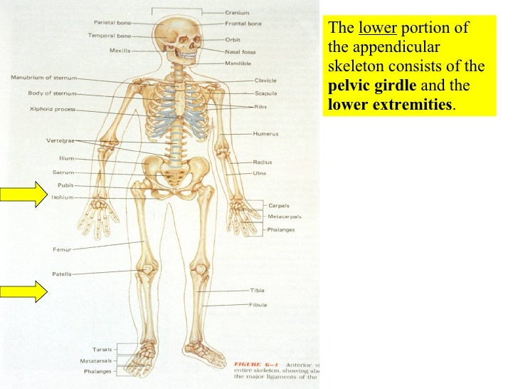 The  lower  portion of the appendicular skeleton consists of the  pelvic girdle  and the  lower extremities .