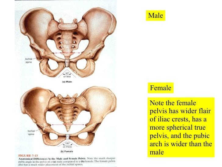 07 Appendicular Skeleton Pelvic Girdle And Lower Limbs