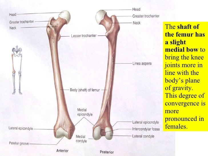 Appendicular Skeleton Pectoral Girdle Lab Practical Question Label ...