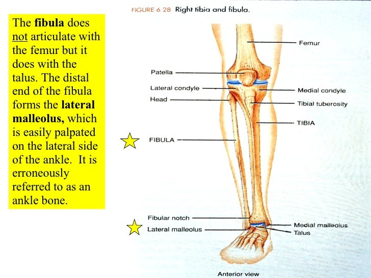 What Part Of The Femur Articulates With The Tibia To Form The Knee