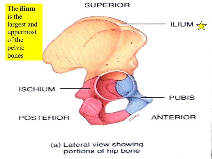 pelvic girdle Bears the weight of the body, serves as place of attachment for the legs and protects the organs located in the pelvic cavity, including the urinary bladder and the reproductive organs.