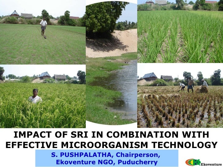 S. PUSHPALATHA, Chairperson,  Ekoventure NGO, Puducherry IMPACT OF SRI IN COMBINATION WITH EFFECTIVE MICROORGANISM TECHNOL...