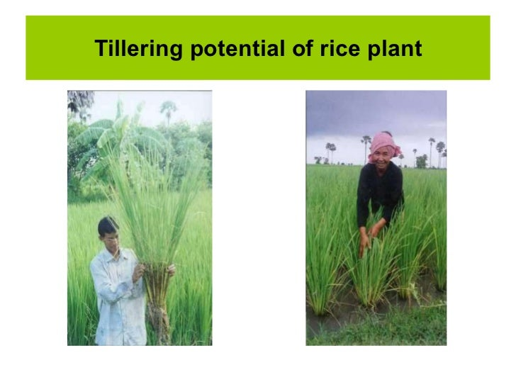 an overview of rice Research: nutritious rice for the world: project overview project overview project details project news research nutritious rice for the world.