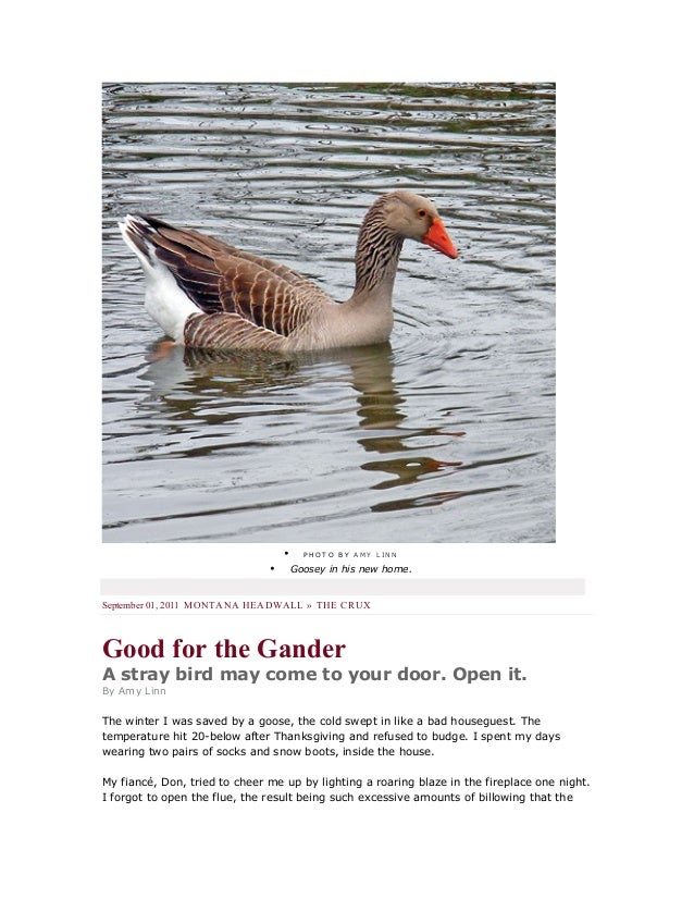 • P H O T O B Y A M Y L I N N • Goosey in his new home. September 01, 2011 MONTANA HEADWALL » THE CRUX Good for the Gander...