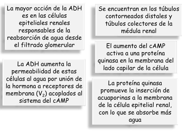 gh hormona anabolica