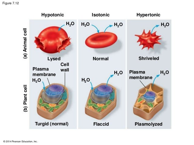 osmosis plasmolysis hemolysis Diffusion and osmosis lab  hemolysis the destruction of red blood cells after exposure to a hypotonic solution, due to the gain of water through osmosis .
