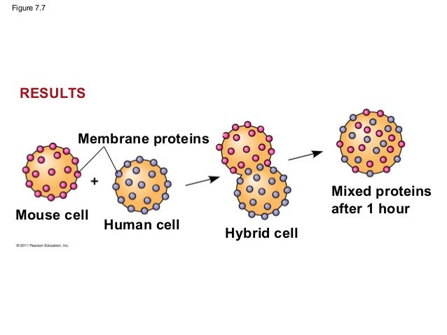 cell membrane and function Cell - general functions and characteristics: like the cell membrane, membranes of some organelles contain transport proteins, or permeases, that allow chemical communication between organelles permeases in the lysosomal membrane, for example, allow amino acids generated inside the lysosome to cross into the cytoplasm, where they can be used.