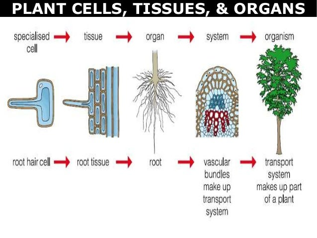 07 plant cells, tissues and organs