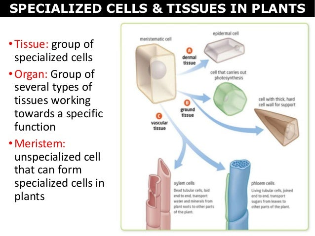 07 plant cells tissues and organs specialized cells tissues in plants 4 ccuart