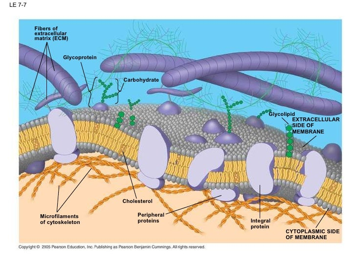 the structure and function of a cell membrane Found only in plant cells the structure whose function is to allow substances to diffuse from an area of higher concentration to an area of lower concentration is labeled a.
