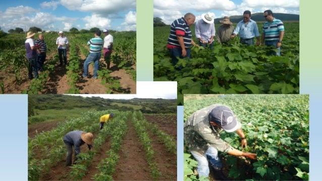 Experiencia del Sr. Coriolano da Silva, que sembro 1 ha para producción de semillas associadas com sésamo em el borde. • ...
