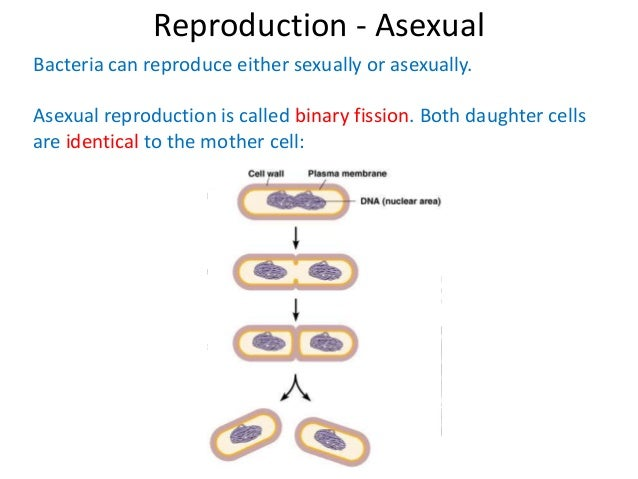 Forms of asexual reproduction in bacteria