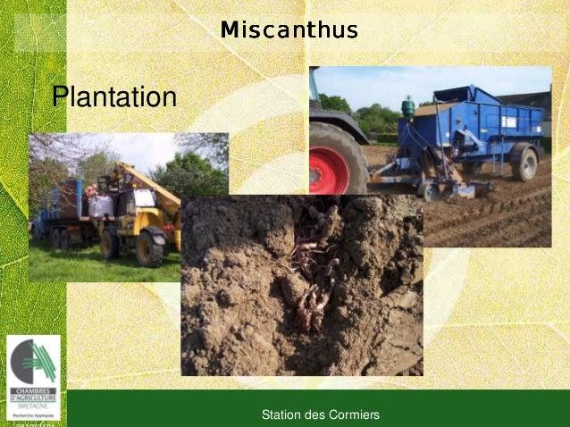 081030101 Station des Cormiers MiscanthusMiscanthusMiscanthusMiscanthus Plantation
