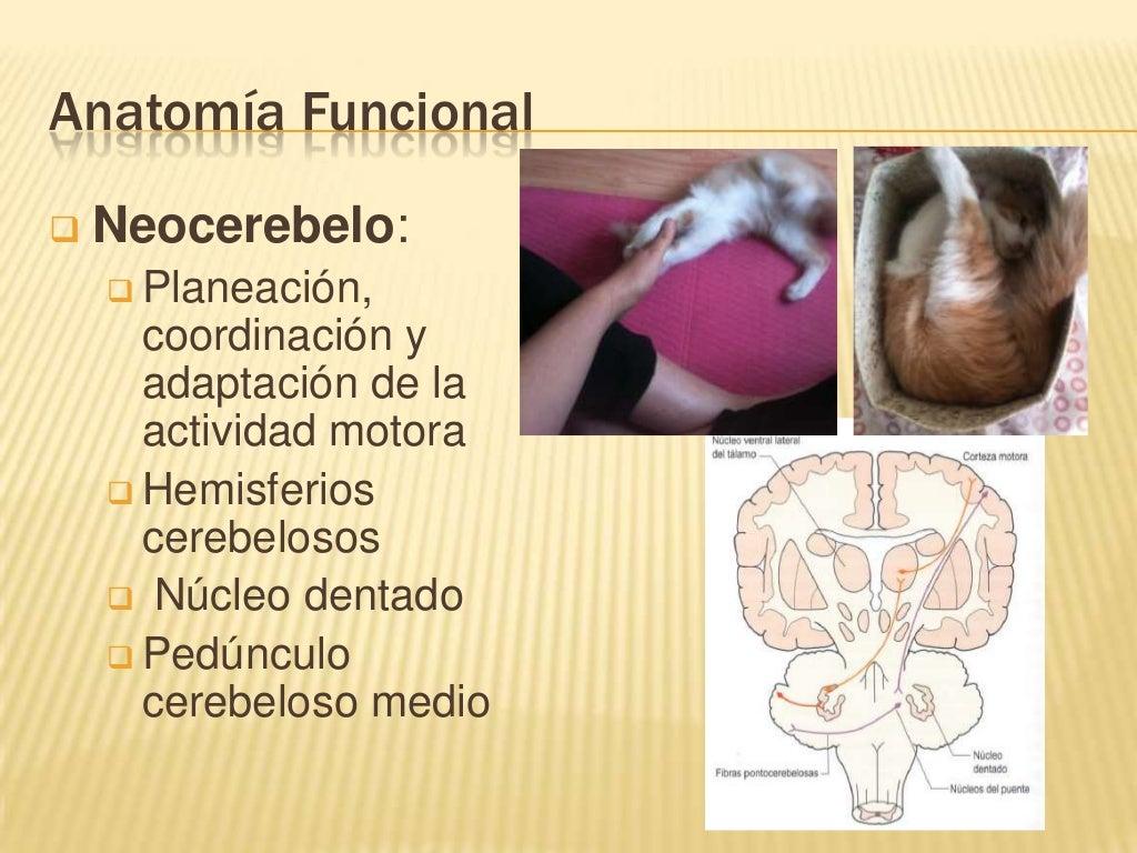 UVM Sistema Nervioso Sesion 08 Cerebelo