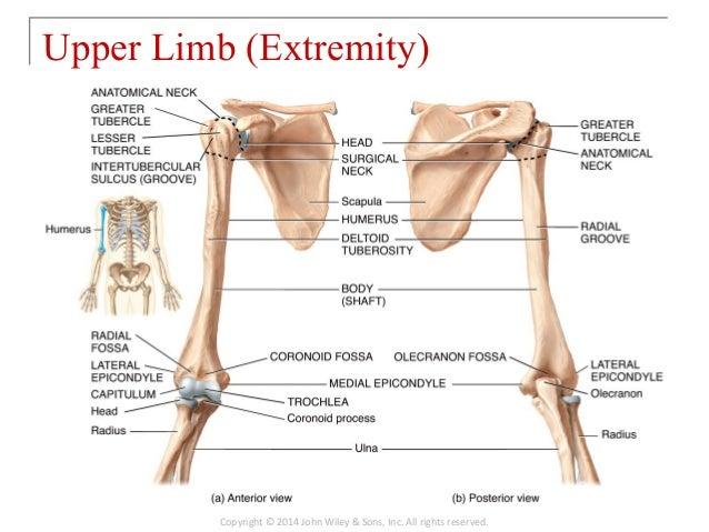 Skeletal Diagram Of Upper Limb Trusted Wiring Diagram