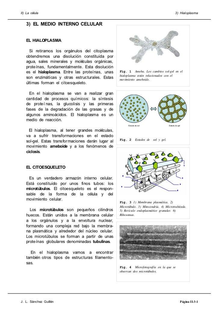 II) La célula                                                                                   3) Hialoplasma   3) EL MED...