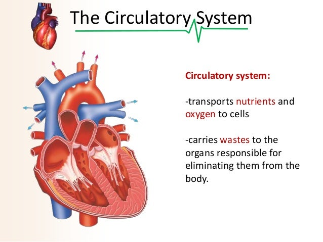 Internal Anatomy Of The Heart further Unlabeled Diagram Of Human Reproductive System together with Royalty Free Stock Photo Human Diaphragm D Rendered Illustration Image34164645 together with Diagram Of A Urinary System With Labels Diagram For Urinary System Anatomy Body Charts as well 14425480. on bladder system diagram