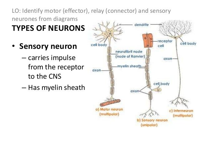 Nervous system sensory neurones from diagrams 15 lo describe a simple ccuart Gallery
