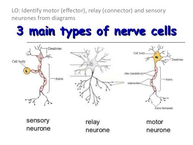 Labelled Diagram Of A Motor Neuron