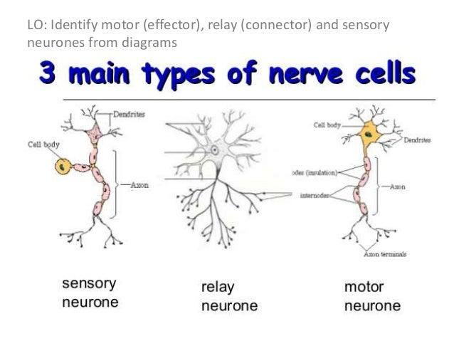Nervous system 18 motor neuron ccuart Images