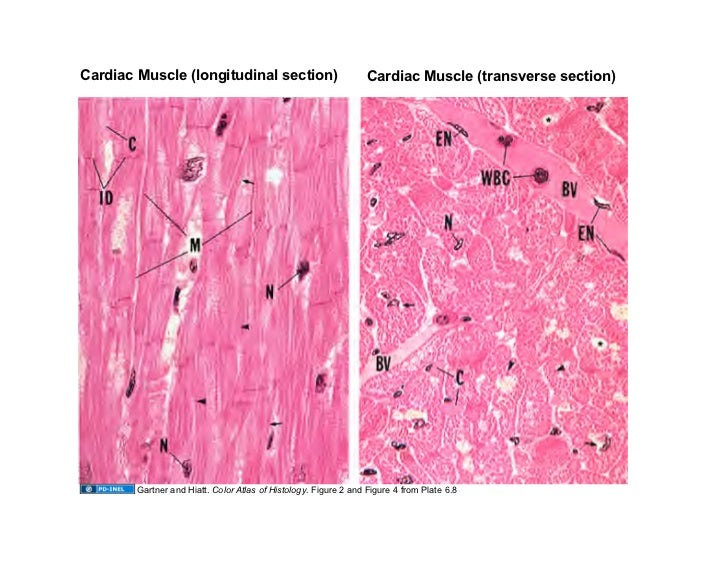 091508 Muscle Tissue
